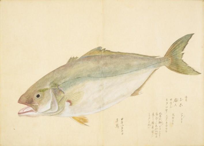 漢字で「鮸」とも「鮸膠・鰾膠」とも書く魚。
