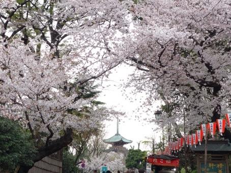 上野の山 桜  2016年4月6日